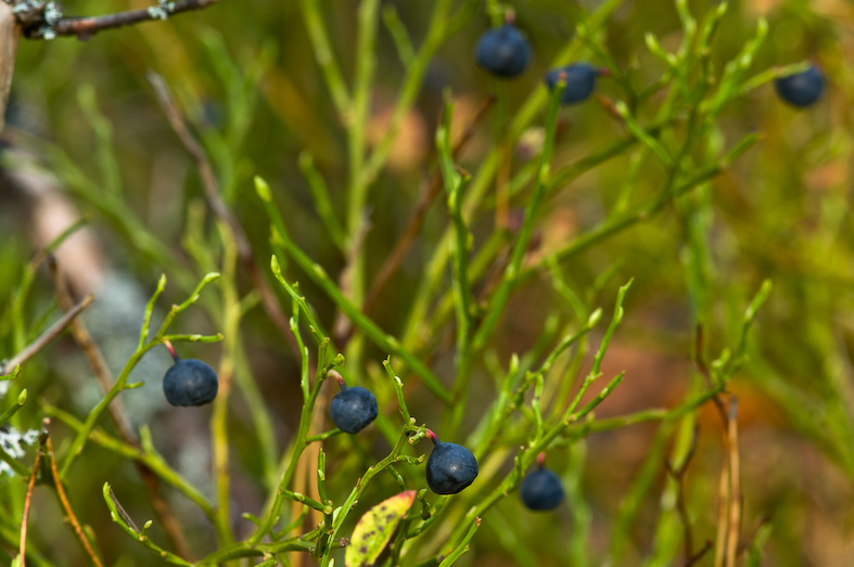 Bilberries from Tiveden