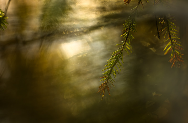 Spruce sprig in a window of light