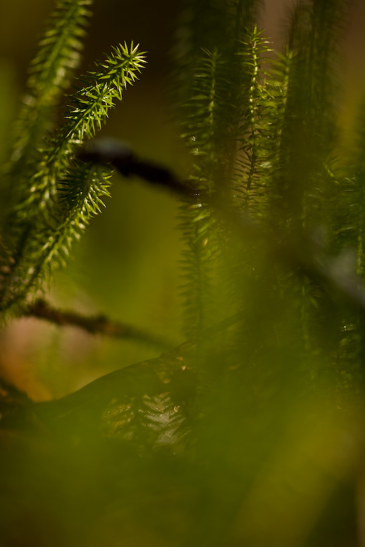 Clubmoss green