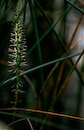 Mare's tail in the reeds